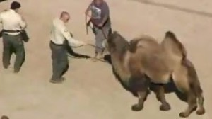 CAMEL KILLS TWO