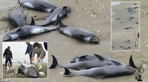 WHALES STRANDED JAPAN