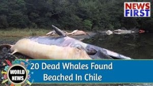WHALES DIE IN CHILE