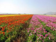 israel-flowers
