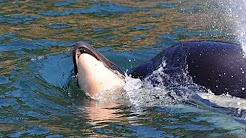 ORCA BABY