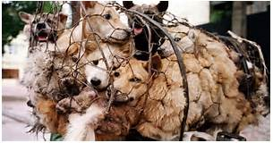 DOG MEAT FESTIVAL CHINA